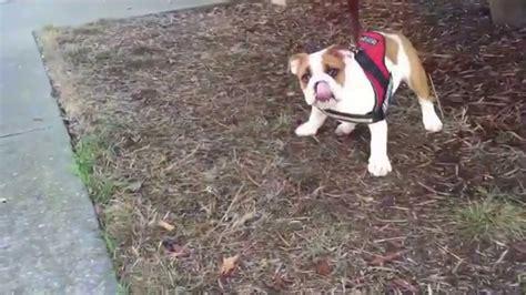 puppy refuses to walk bulldog puppy refuses to go for walk doovi