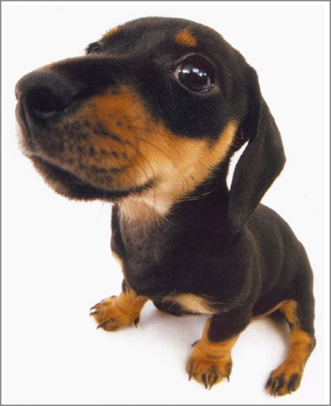 decke hund hound dachshund
