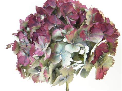 dried hydrangea flower heads seconds dried flowers shop