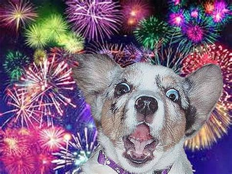 afraid of fireworks 5 ways to ease your s fear of fireworks loving dogs daily