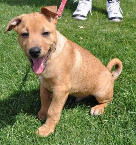 golden retriever mix puppies for adoption ready for adoption labrador retriever chow chow mixed breeds picture