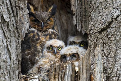 Totebag Owl Family By Bellezzeshop great horned owl family photo photograph by paul danaher