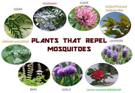 best plant for mosquito repellent how to keep mosquitoes away from pool a 10 step guide