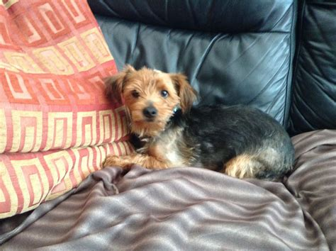 Small Dogs Home Walsall Terrier Boy Walsall West Midlands Pets4homes
