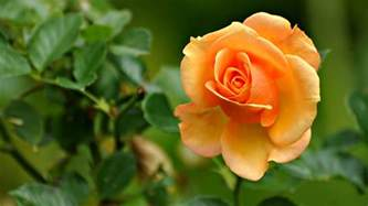 Hd Flower Images this ornate fascinating smell orange rose pleasing marvelous natural