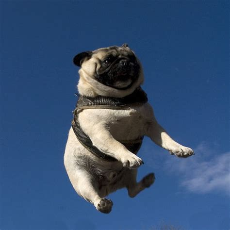 the flying pug flying pug d animals