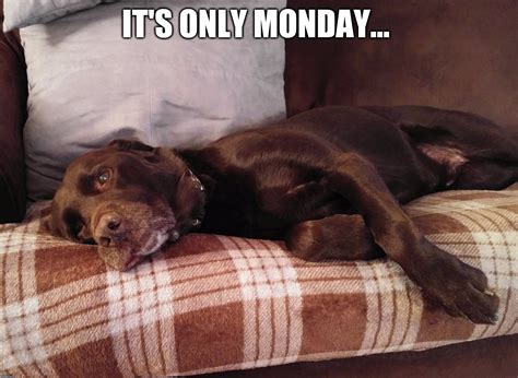 Chocolate Lab Meme - image tagged in chuckie the chocolate lab imgflip