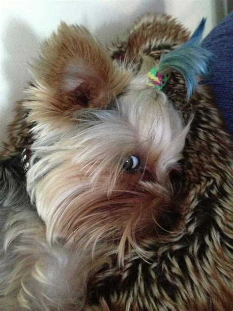 how to layer a long haired yorkie yorkie love a collection of animals and pets ideas to