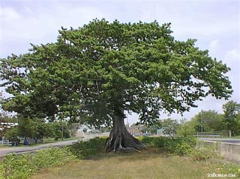 Trees Symbolism by Images Of Puerto Rico Arbol De Ceiba Quebradillas
