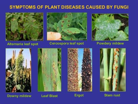 symptoms of fungal diseases in plants farmers insect pest and crop diseases