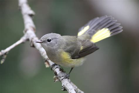 north carolina mountain birds american redstart