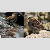house-sparrow-female