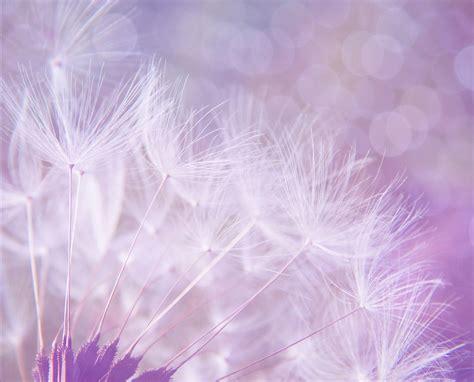 Qw Wallpaper Dandelion Pink 무료 사진 민들레 개요 보라색 배경 bokeh 조명 퍼프 보풀 pixabay의 무료 이미지 923221