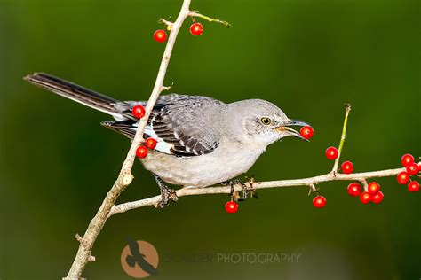 northern mockingbird eating red berry scalder photography