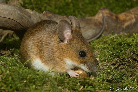 obr 225 zek apodemus flavicollis myšice lesn 237 biolib cz