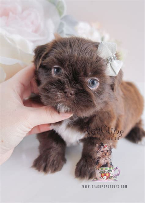 shih tzu puppies for sale in idaho imperial shih tzu puppies for sale by teacups puppies boutique teacups puppies