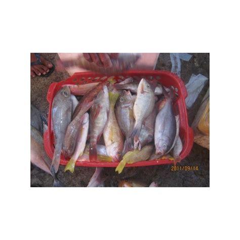 Ikan Segar Ikan Fresh Ikan Beku Ikan Kerapu Moso 1kg Up jual ikan kerapu fresh aneka jenis ikan kerapu fresh dari perairan maluku utara ikan kerapu