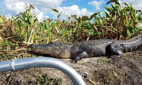 alligator boat alligator jumps in boat