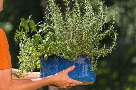 lavendel als zimmerpflanze verwenden 187 geht das - Lavendel Als Zimmerpflanze