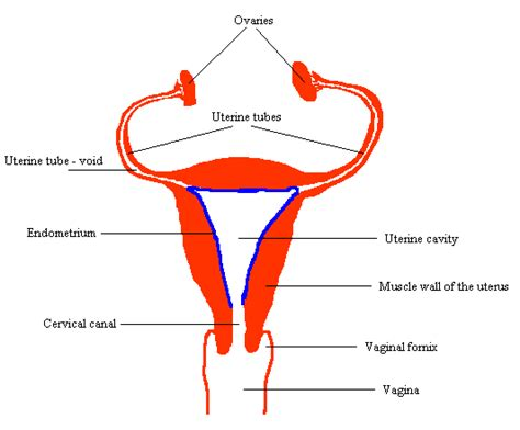 Shedding Of Endometrium by What Is Uterine Lining