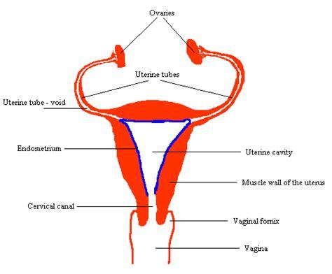 Shedding Of The Endometrium by Uterine Lining Causes Symptoms Treatment Uterine Lining