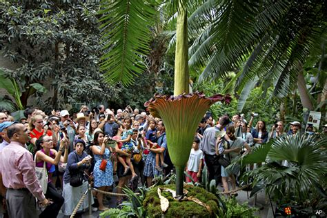 smelliest corpse flower begins blooming at botanic garden