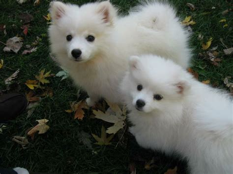 eskimo spitz puppies american eskimo spitz puppies breeds picture