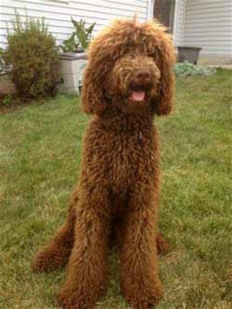 doodle doodle breed doodle breed 187 information pictures more