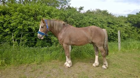 welsh section d breeders 4 yr old welsh d for sale stockton on tees county