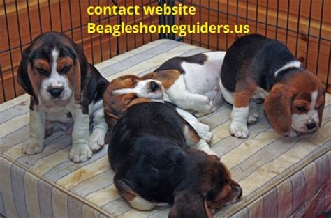 beagle puppies for sale in alabama beagle puppies for sale birmingham for sale huntsville pets dogs