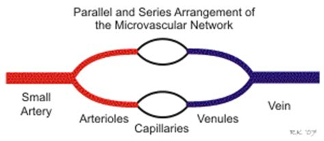 resistance in series and parallel blood flow cv physiology series and parallel vascular networks