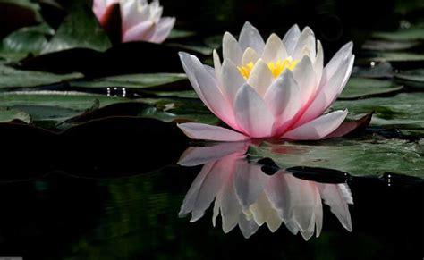 immagini di fiori di loto fiore di loto simbolo di rinascita crystalesblog