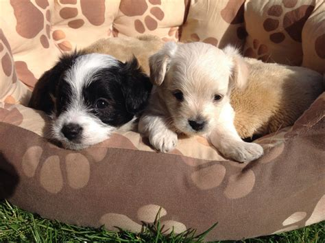 jackapoo puppies for sale jackapoo puppies for sale gloucester gloucestershire pets4homes