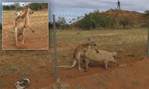 Make Money Having Sex Online - kangaroo photographed having sex with a pig in the northern territory daily mail online