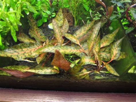 cryptocoryne aquascape 102 best cryptocoryne images on pinterest aquatic plants