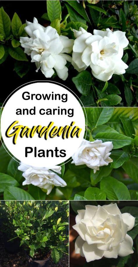 growing gardenia plant plants beautiful flowers garden