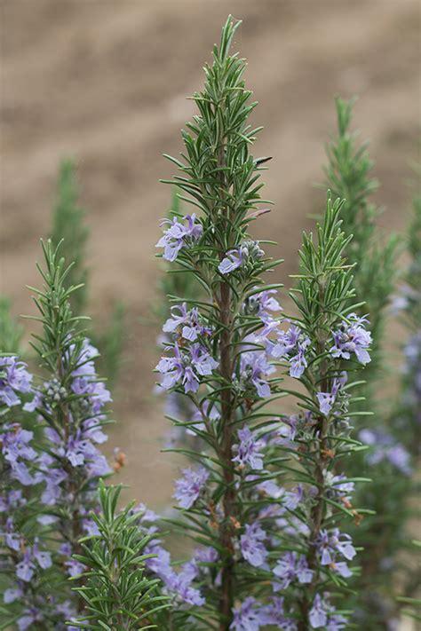 fiori commestibili fiori commestibili quali sono i fiori eduli e come si