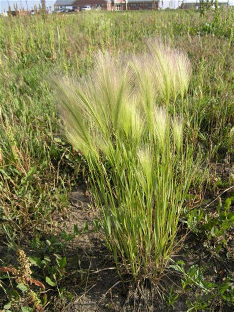 foxtail awns foxtail barley