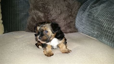 yorkies for sale in birmingham minature tri coloured yorkie pup for sale birmingham west midlands pets4homes