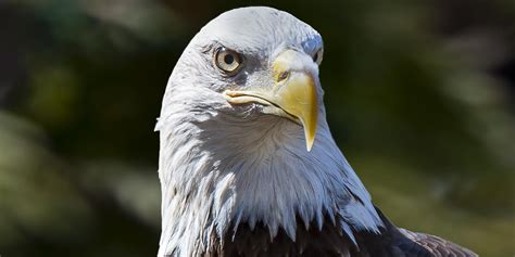 pictures of bald adopt a bald eagle smithsonian s national zoo