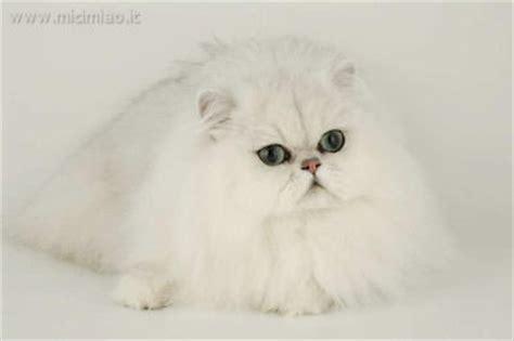 gatti persiani chinchilla il gatto chinchilla