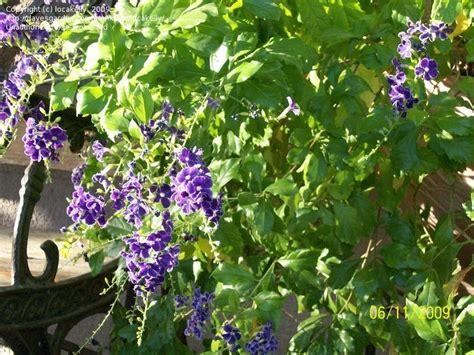 plantfiles pictures golden dew drop sky flower pigeon