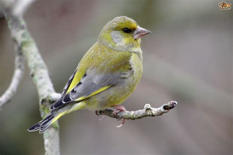 European Homes keeping greenfinches pets4homes