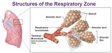 diagram of bronchioles structures of respiratory zone alveoli alveolar duct