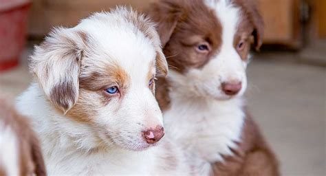 how between puppies how in between puppies 28 images allergy symptoms in dogs or mange puppy in