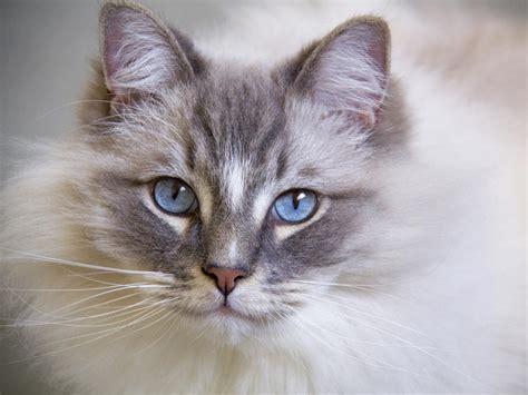 ragdoll que significa estas las razas de gatos m 225 s cari 241 osas que existen