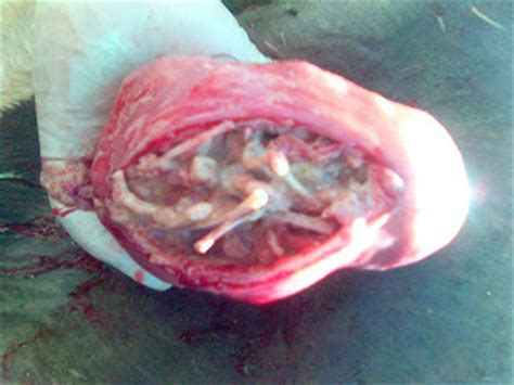 uterus after c section animals and disease mecreated fetus inside utreus