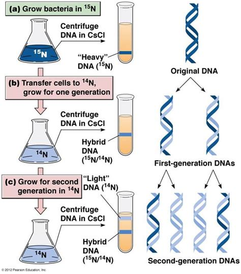 semiconservative replication involves a template what is the template dna replication sbi4u resource website