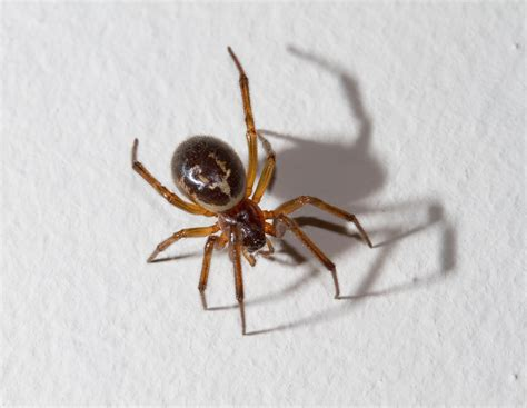 White Garden Spider Uk False Widow Spider Eight Reasons Not To Be Scared Metro