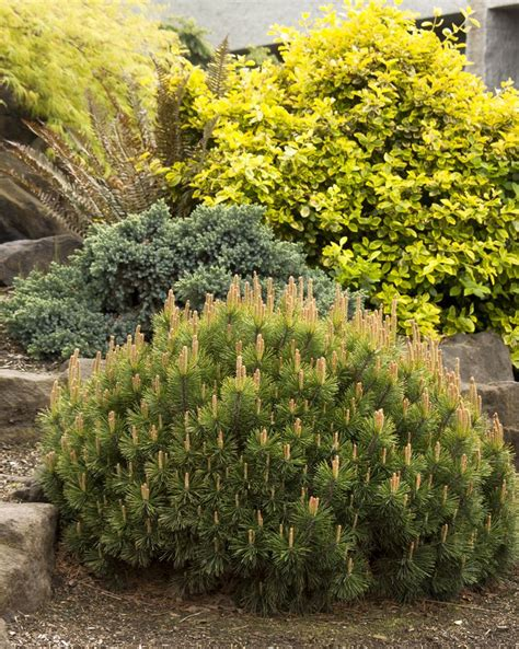 dwarf mugo pine keeps a ball shape without pruning